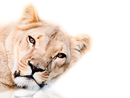 lioness on a white background photo