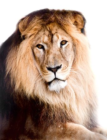 lioness: lion on a white background