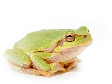 treefrog: Green frog on a white background Stock Photo