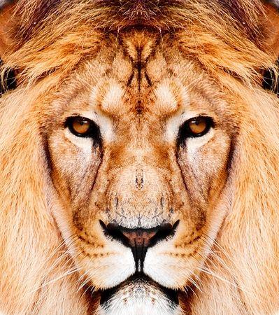 of lions: le�n sobre fondo blanco