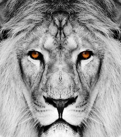 white lion: lion  Stock Photo