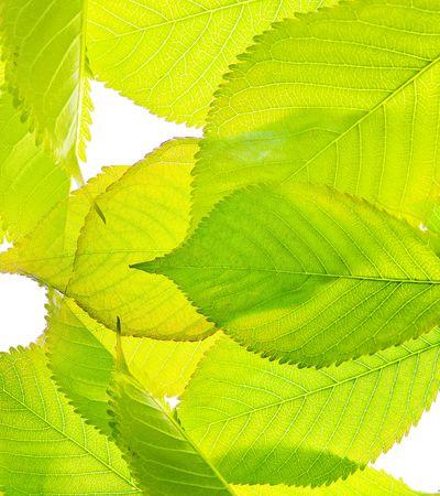 Bright leaf photo