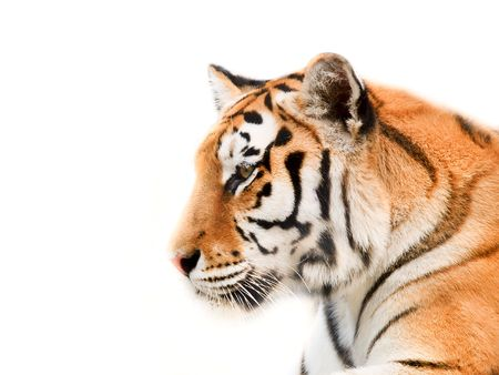 Big Tiger on a white background