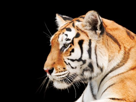sunglight: Big Tiger on a black background Stock Photo