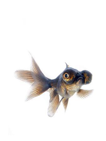 Black goldfish Stock Photo - 1253887