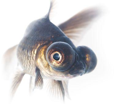 Black goldfish photo