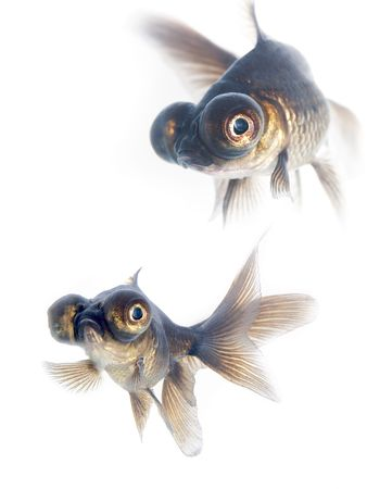 Black goldfish Stock Photo - 1253889