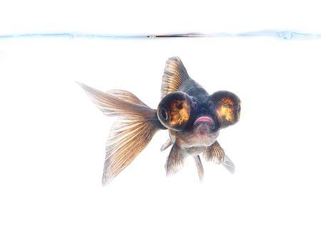 Black goldfish Stock Photo - 1253900