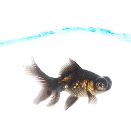 Black goldfish photo