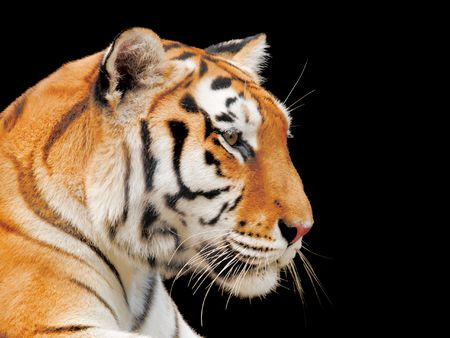 Big Tiger on a black background Stock Photo