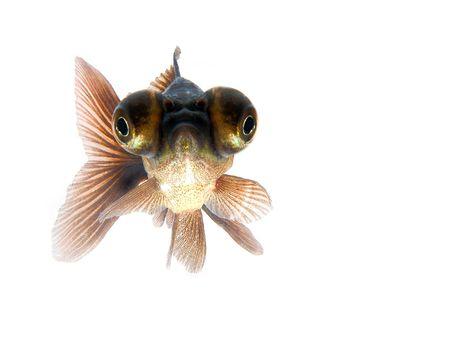 Black goldfish Imagens - 1319085