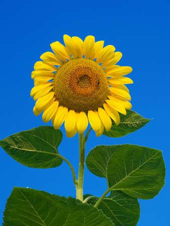 sunflower Stock Photo - 1351779