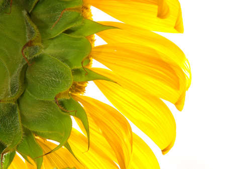 sunflower Stock Photo - 1349931
