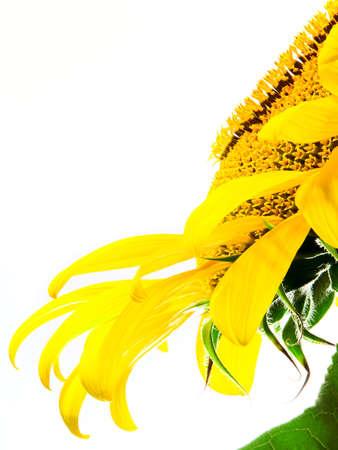 sunflower Stock Photo - 1349949