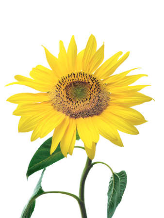 sunflower Stock Photo - 1349942