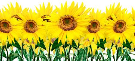 sunflower Stock Photo - 1351782