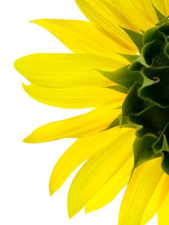 sunflower Stock Photo - 1365406