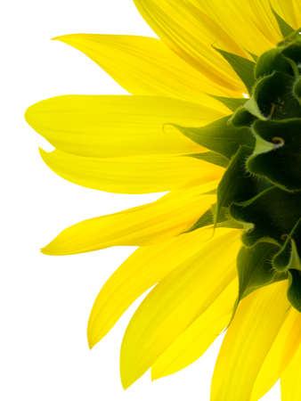 sunflower Stock Photo - 1365406