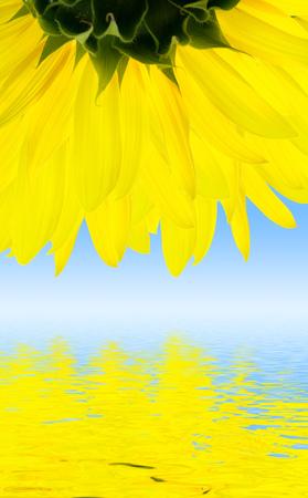 sunflower Stock Photo - 1504548
