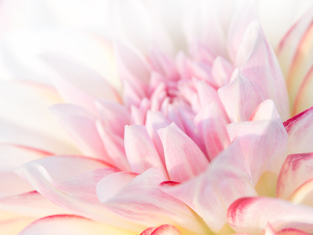 dalia: Flor