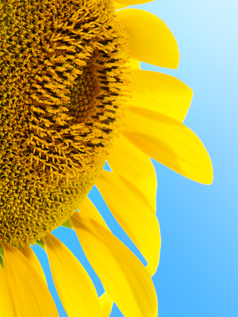 sunflower Stock Photo - 1528083