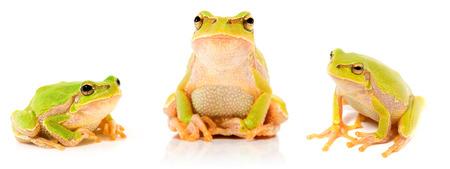 grenouille verte: Grenouille verte sur fond blanc
