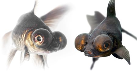 Black goldfish Imagens - 2038654
