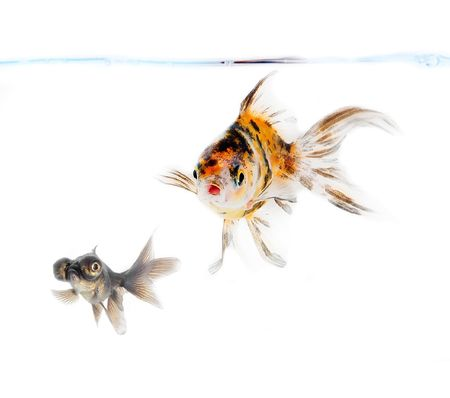 goldfish 版權商用圖片