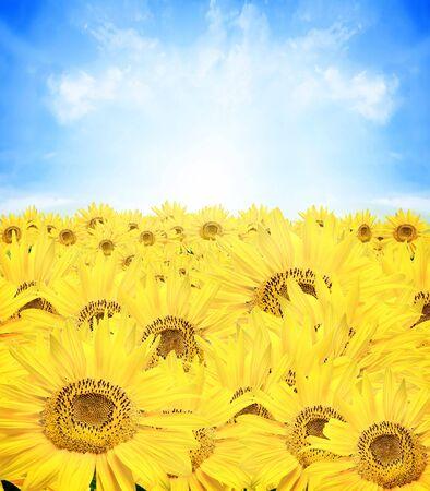 sunflower and sky photo