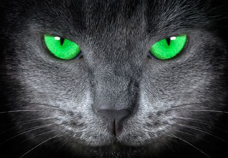grey cat          Stock Photo