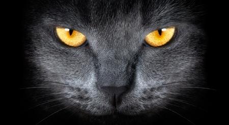 furry animals: gato gris sobre un fondo negro