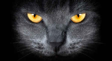 furry animals: grey cat on a black background