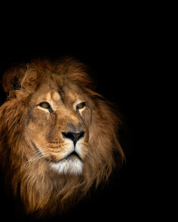 noble lion on a black background Stock Photo - 10611224