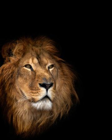 noble lion on a black background Imagens - 10611224