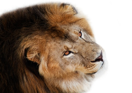 noble lion on a white background photo