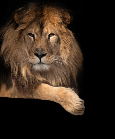nobility: noble lion on a black background
