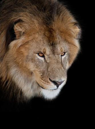 noble lion on a black background photo