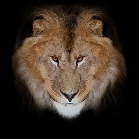 noble lion on a black background Imagens - 10690505