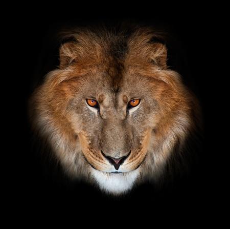 lion face: noble lion on a black background