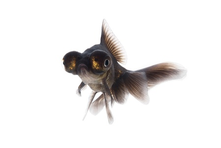 Black goldfish on a white background Stock Photo - 10690478
