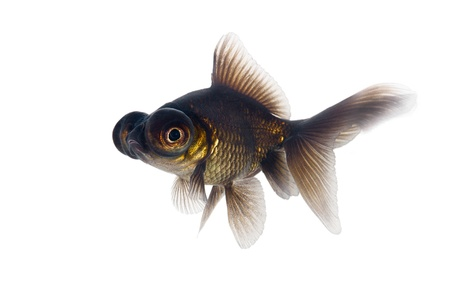 Black goldfish on a white background photo