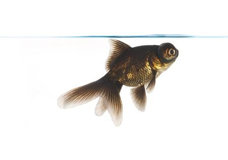 Black goldfish on a white background photo