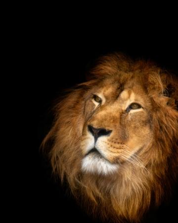 király: oroszlán Stock fotó