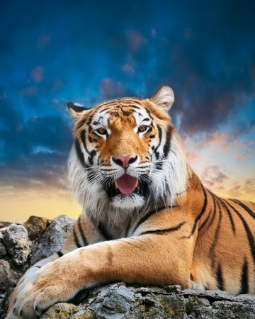 tiger eyes: tiger on the sky background