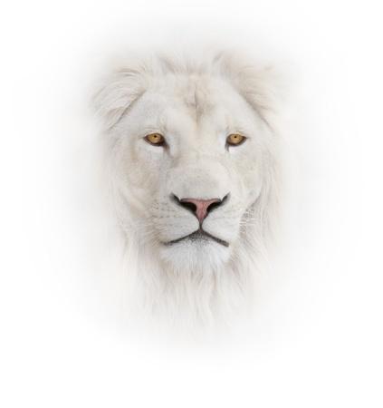 leones: le�n blanco en el fondo blanco