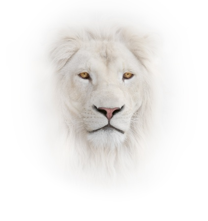 white lion on the white background Imagens