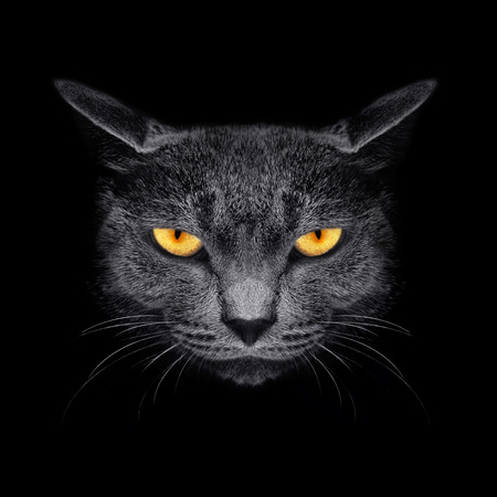 View from the darkness. Muzzle a cat on a black . photo