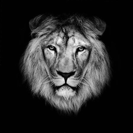 黒い背景に美しいライオン 写真素材
