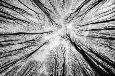 black and white forest: Beech forest on the sky background
