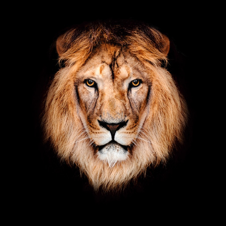 Beautiful lion on a black background. Banque d'images